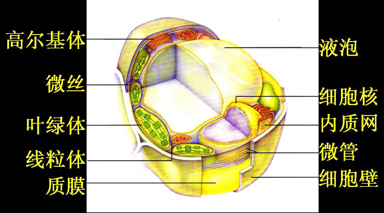 动物细胞模式图 植物细胞模式图